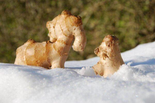 gode venner i sne